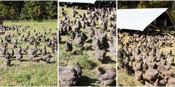 ChickensBlog